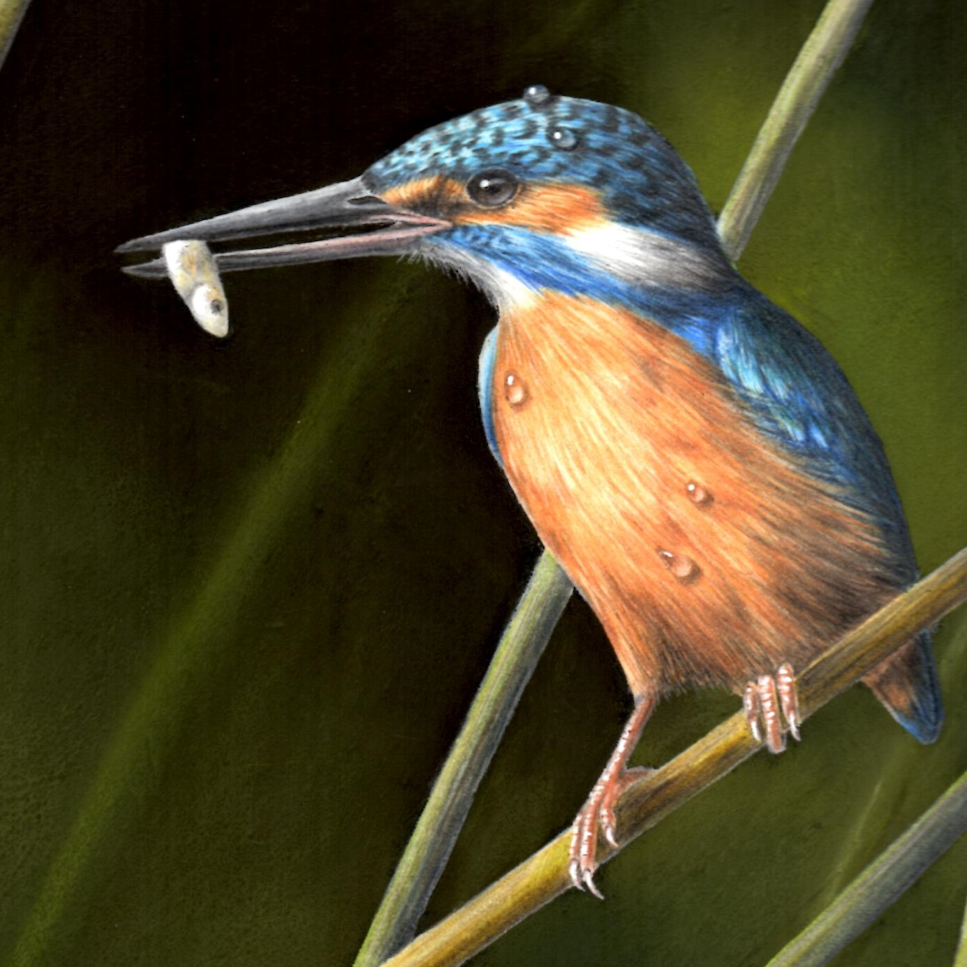 Coloured Pencil Drawing Kingfisher Tuesday 2nd April 2019 The